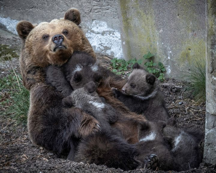 Brown bear with cubs. Photo: Anders Bouvin.