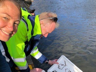 Bild: Rebecka Hovenberg, Tekniska verkens styrelse, och Jakob Bergengren, miljöingenjör på Tekniska verken, hjälps åt att släppa ut de franska ålarna i Stångån.