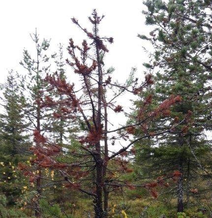 Tallskog svart skadad av svamp